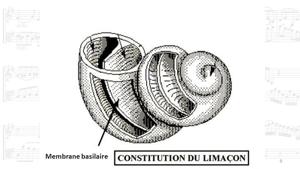 Membrane basilaire