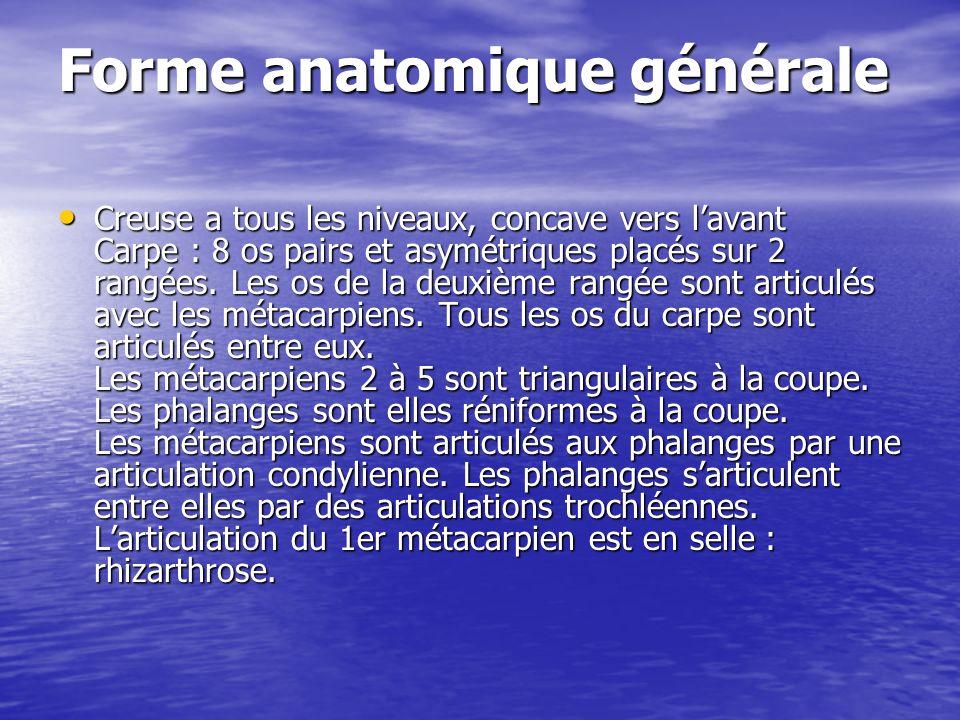 Forme anatomique générale