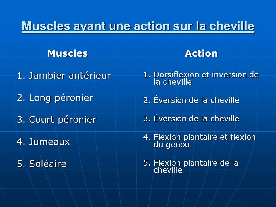 Muscles ayant une action sur la cheville