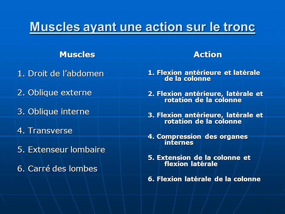 Muscles ayant une action sur le tronc