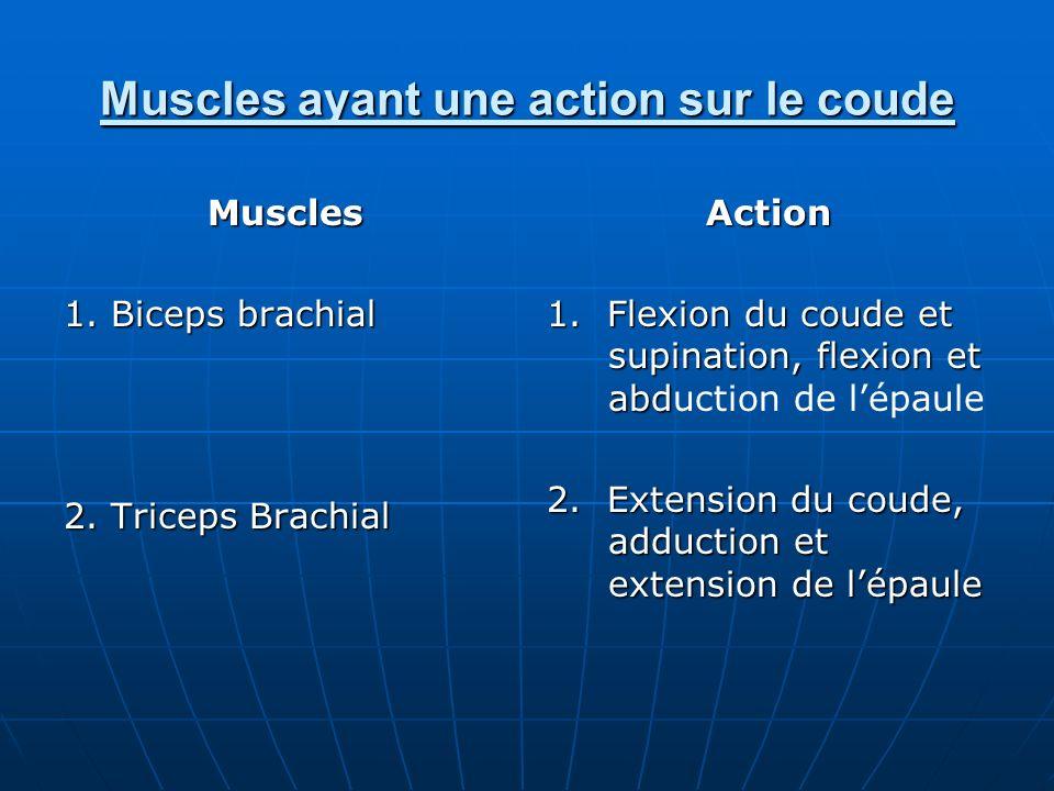Muscles ayant une action sur le coude