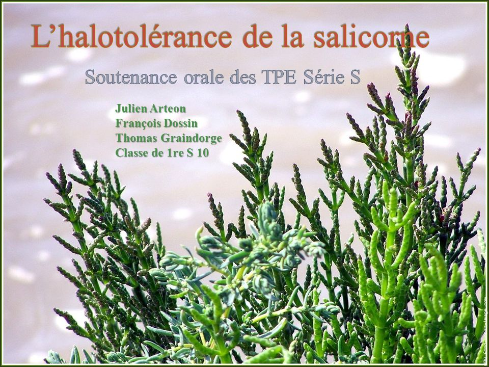 L'halotolérance de la salicorne