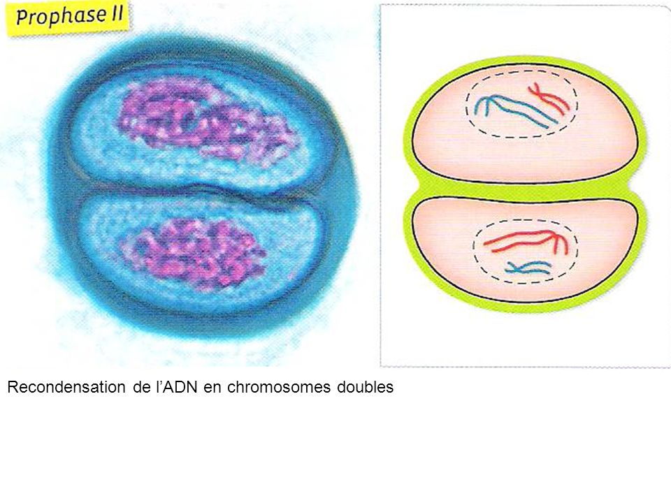 Recondensation de l'ADN en chromosomes doubles