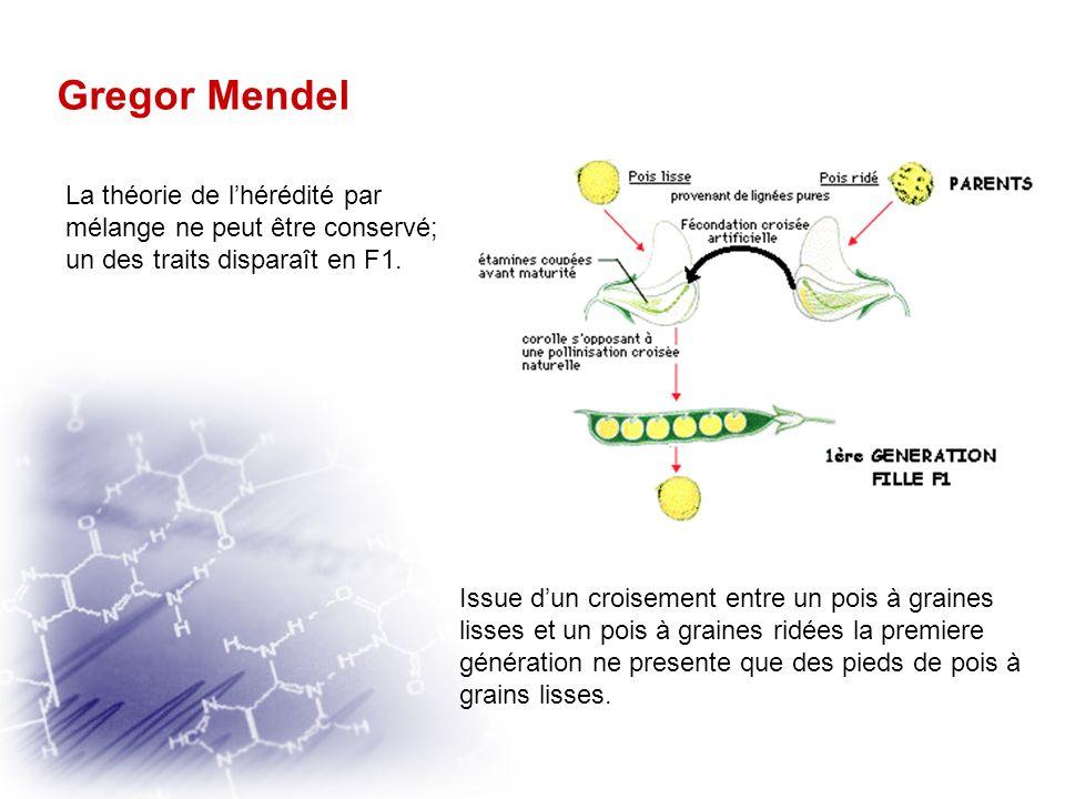 Gregor Mendel La théorie de l'hérédité par mélange ne peut être conservé; un des traits disparaît en F1.