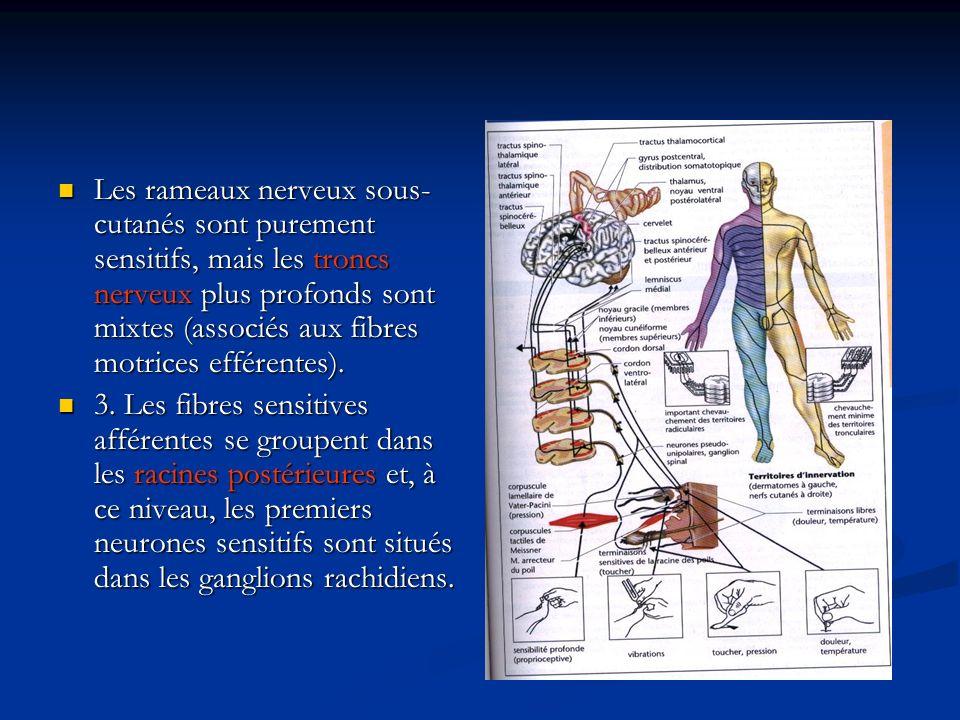 Les rameaux nerveux sous-cutanés sont purement sensitifs, mais les troncs nerveux plus profonds sont mixtes (associés aux fibres motrices efférentes).