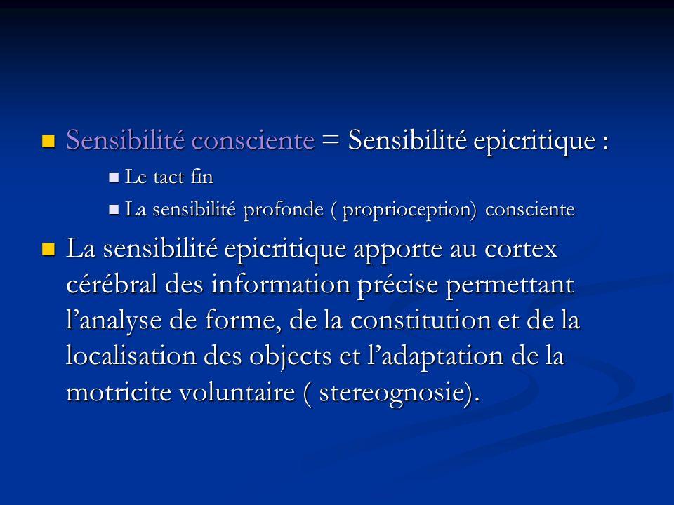 Sensibilité consciente = Sensibilité epicritique :