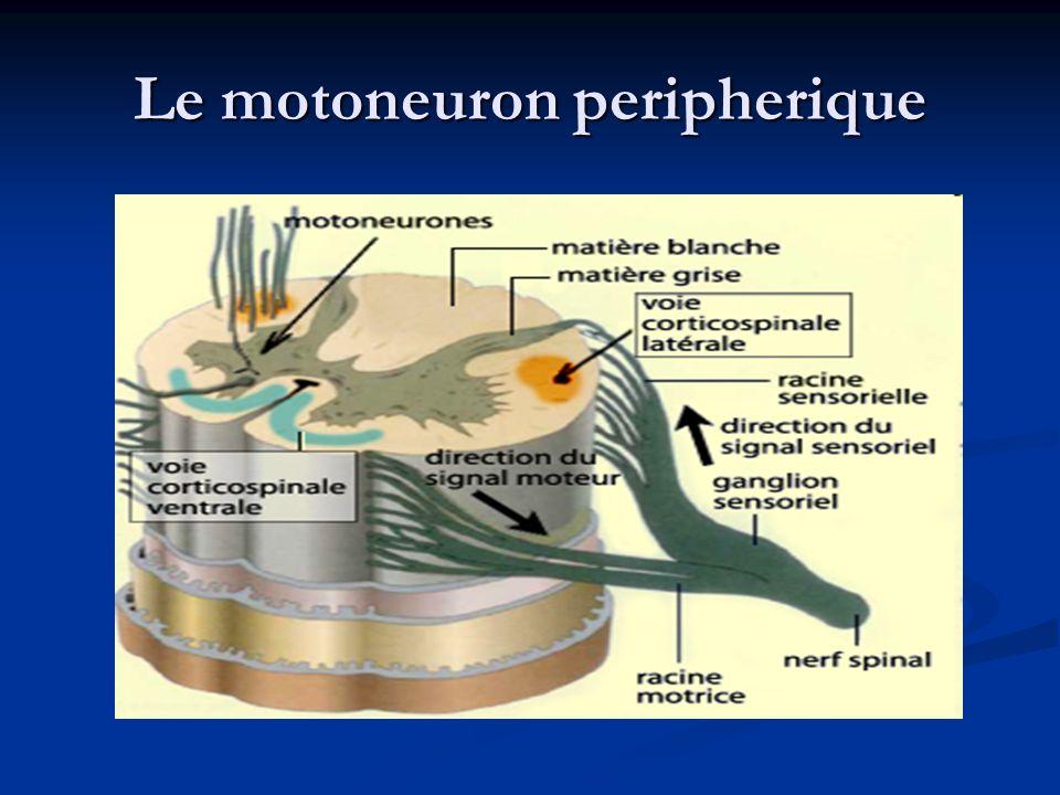 Le motoneuron peripherique