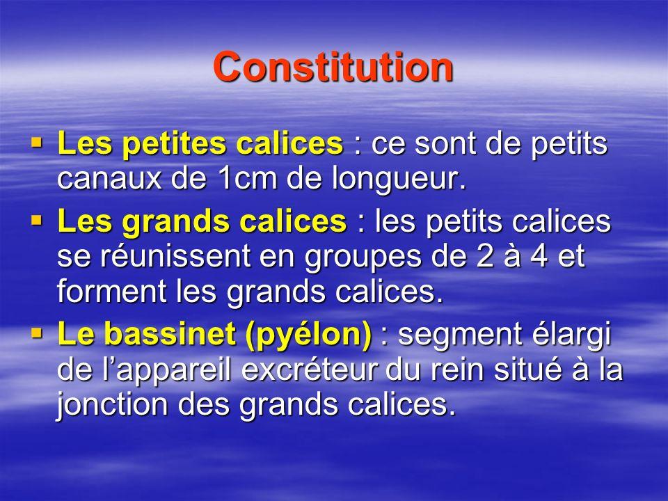 Constitution Les petites calices : ce sont de petits canaux de 1cm de longueur.