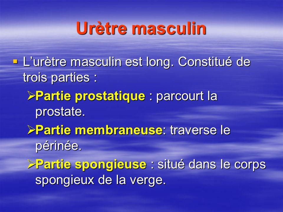 Urètre masculin L'urètre masculin est long. Constitué de trois parties : Partie prostatique : parcourt la prostate.