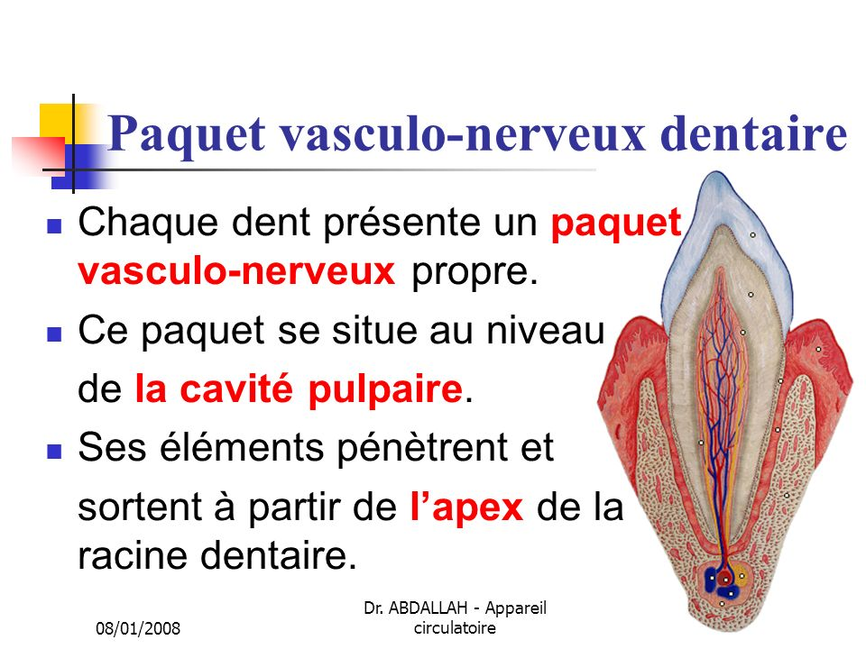 Paquet vasculo-nerveux dentaire