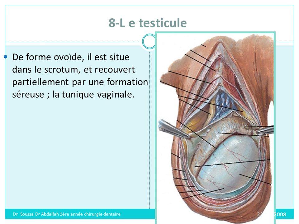 8-L e testicule De forme ovoïde, il est situe dans le scrotum, et recouvert partiellement par une formation séreuse ; la tunique vaginale.
