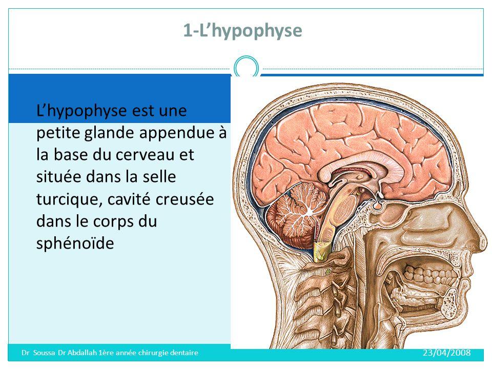 1-L'hypophyse