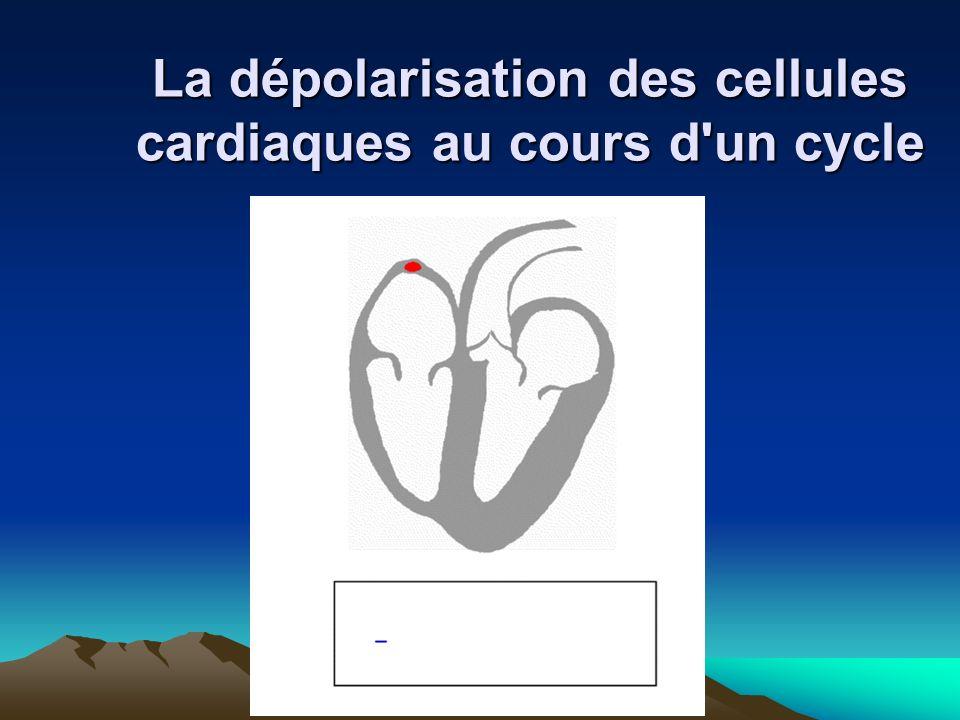 La dépolarisation des cellules cardiaques au cours d un cycle