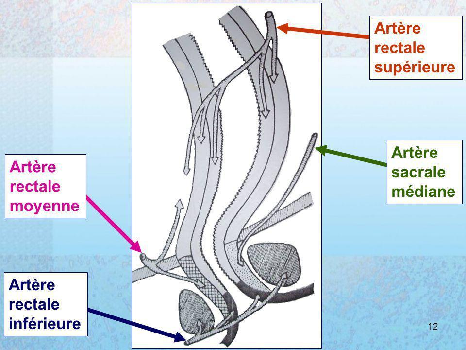 Artère rectale supérieure sacrale médiane moyenne inférieure