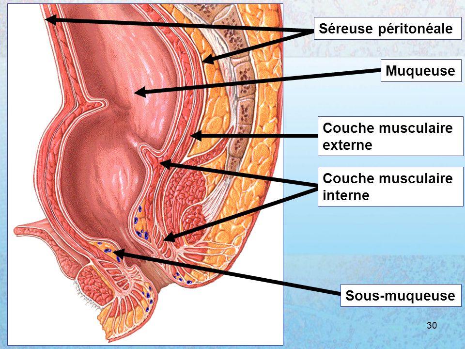 Séreuse péritonéale Muqueuse Couche musculaire externe interne