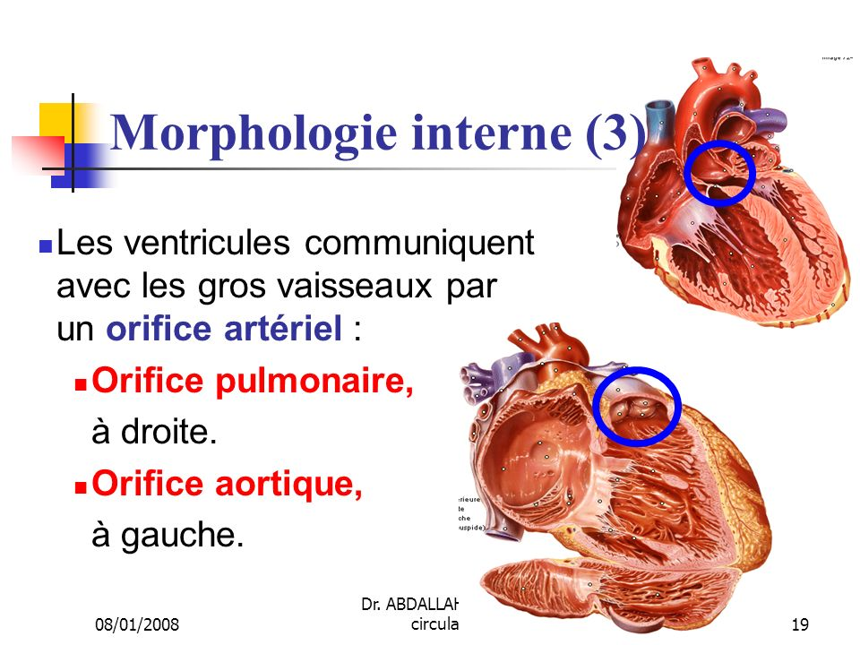 Morphologie interne (3)