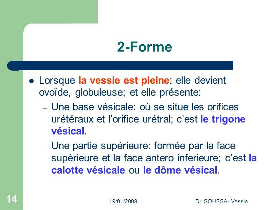 2-Forme Lorsque la vessie est pleine: elle devient ovoïde, globuleuse; et elle présente: