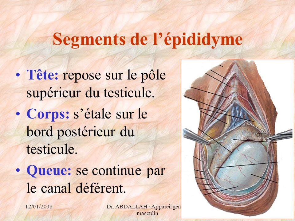 Segments de l'épididyme