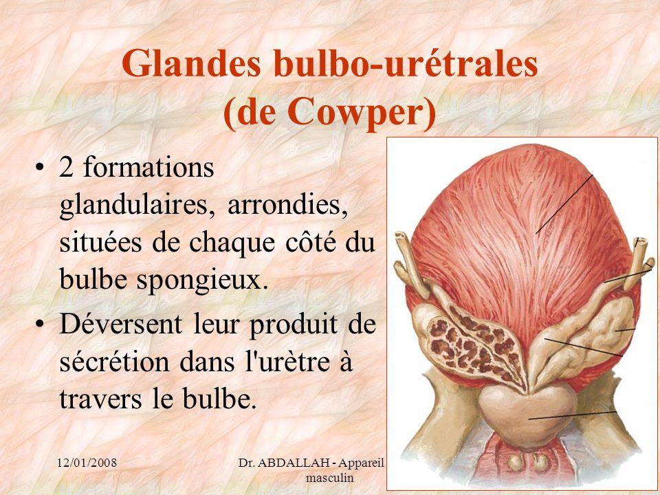 Glandes bulbo-urétrales (de Cowper)