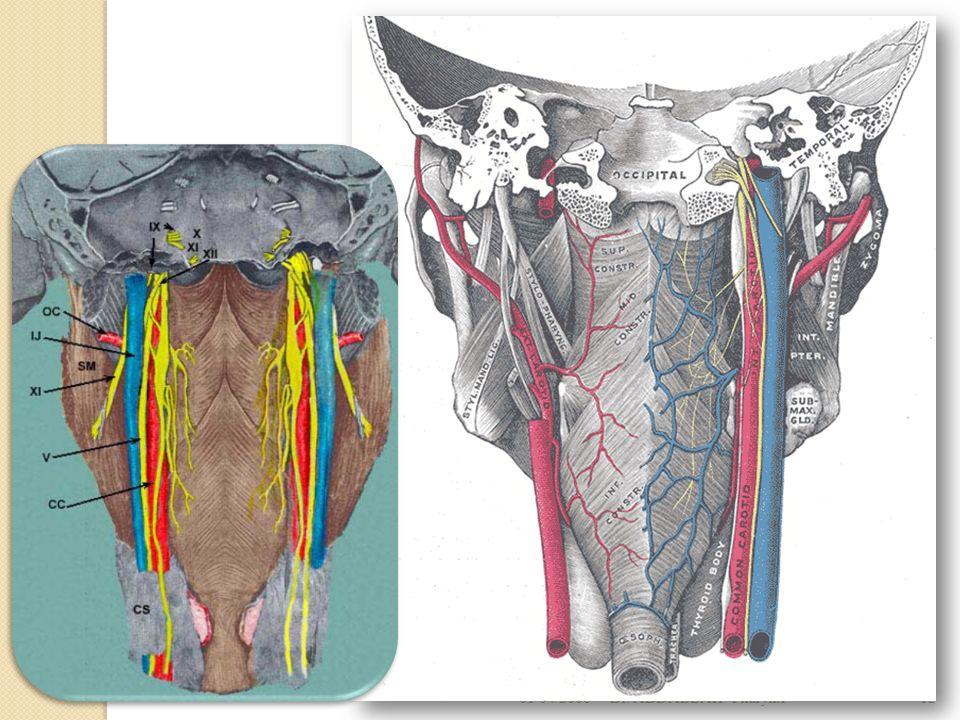 01/04/2008 Dr. ABDALLAH- Pharynx