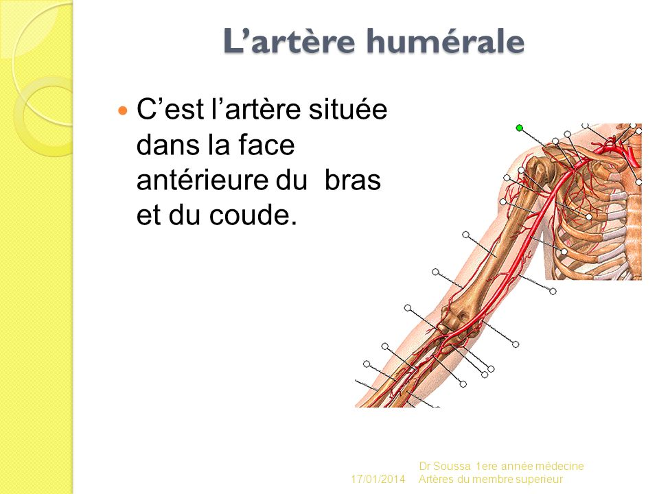 L'artère humérale C'est l'artère située dans la face antérieure du bras et du coude. 26/03/2017.