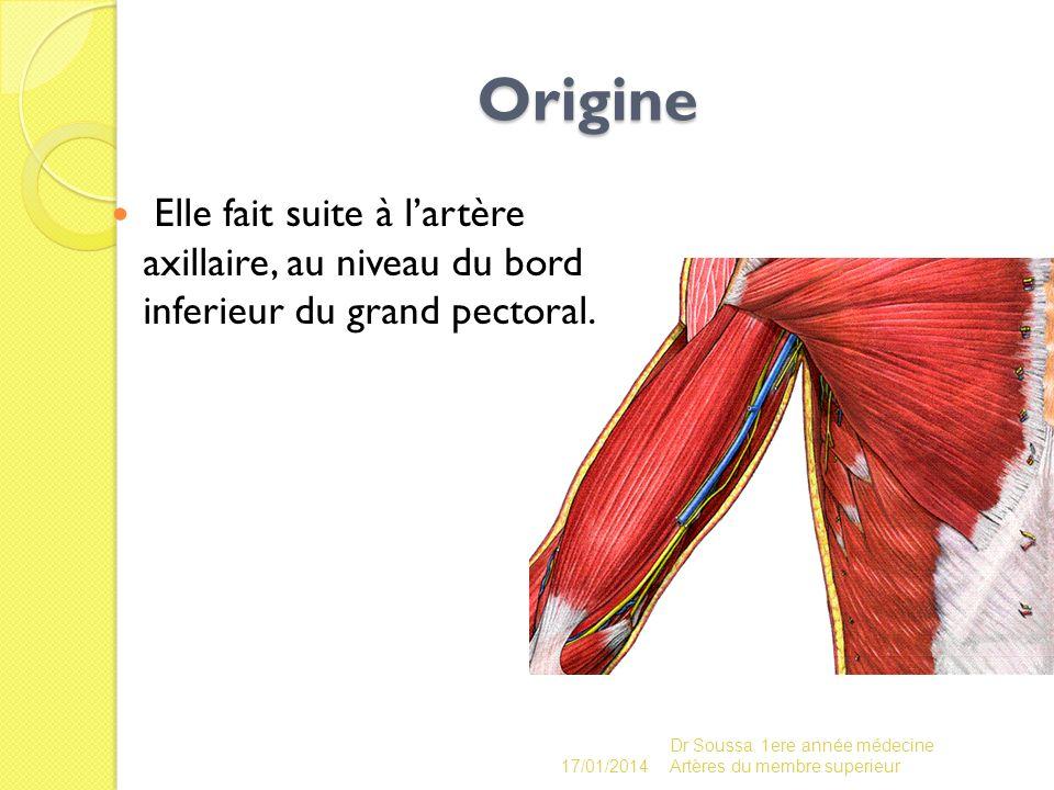 Origine Elle fait suite à l'artère axillaire, au niveau du bord inferieur du grand pectoral. 26/03/2017.