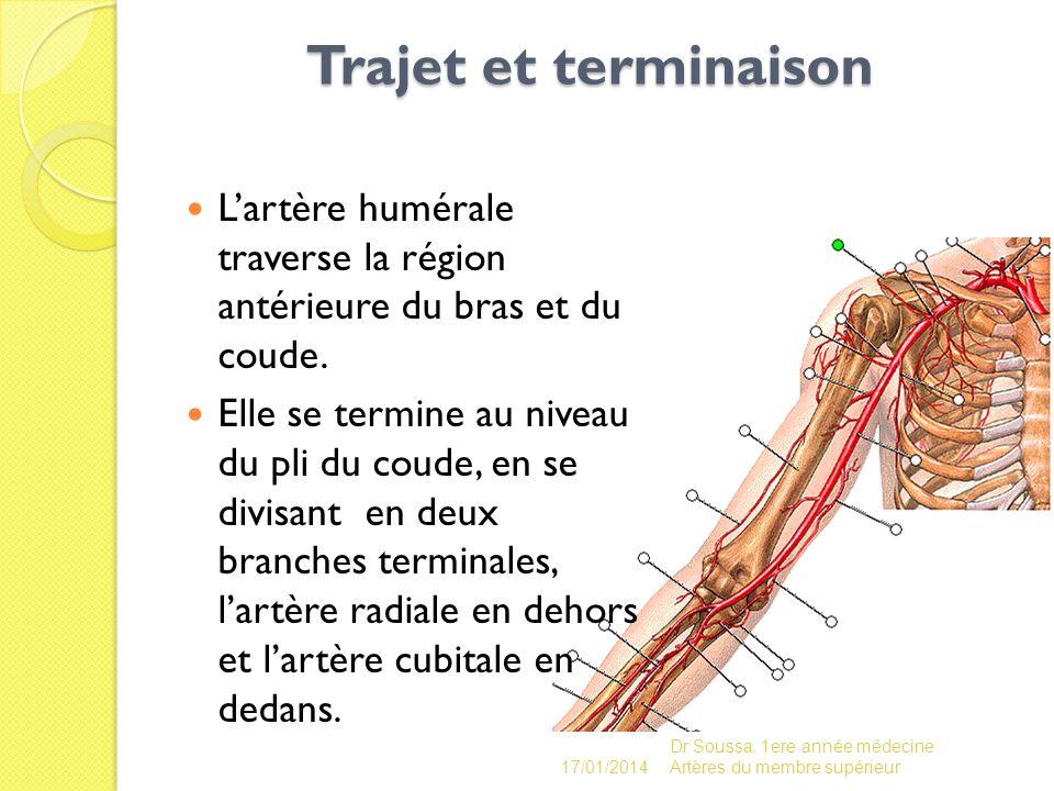 Trajet et terminaison L'artère humérale traverse la région antérieure du bras et du coude.