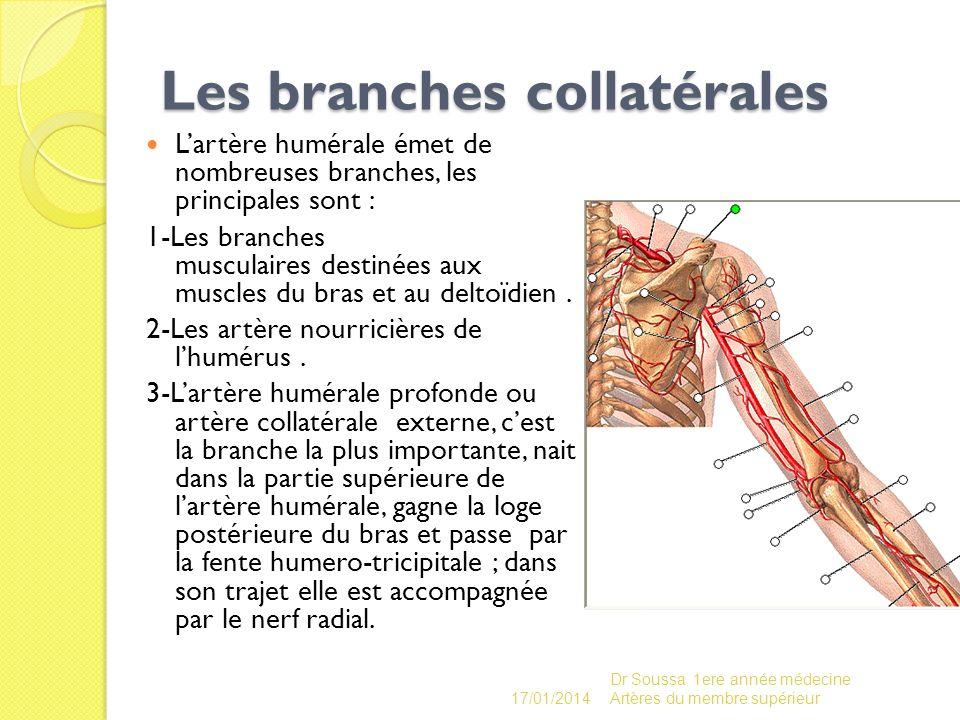 Les branches collatérales