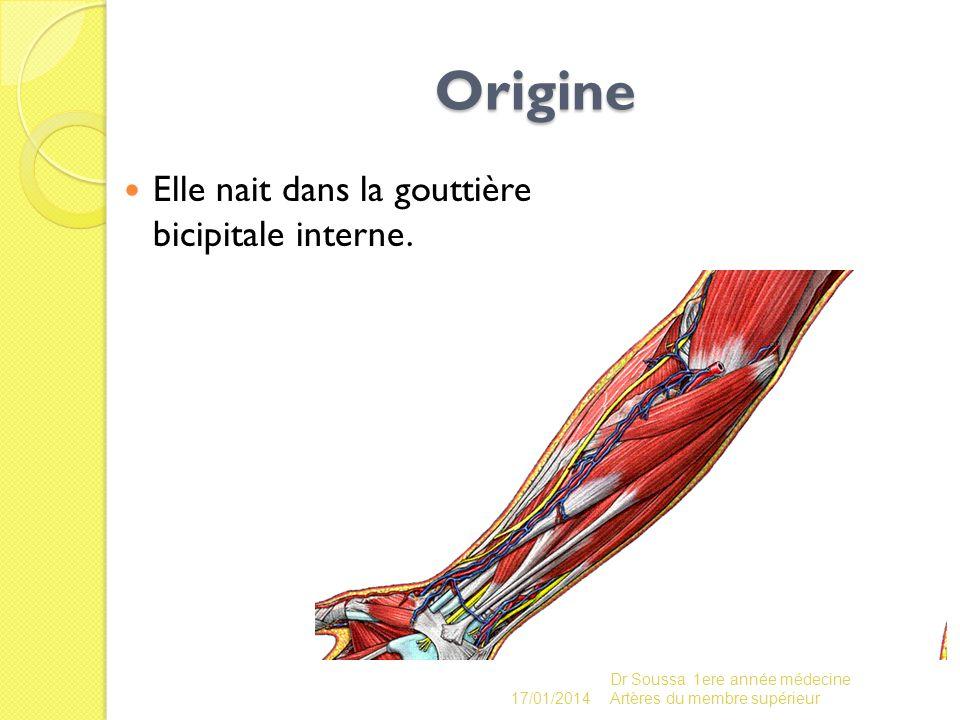 Origine Elle nait dans la gouttière bicipitale interne.