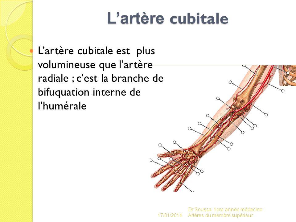 L'artère cubitale L'artère cubitale est plus volumineuse que l'artère radiale ; c'est la branche de bifuquation interne de l'humérale.