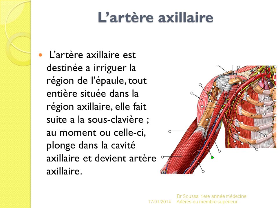 L'artère axillaire