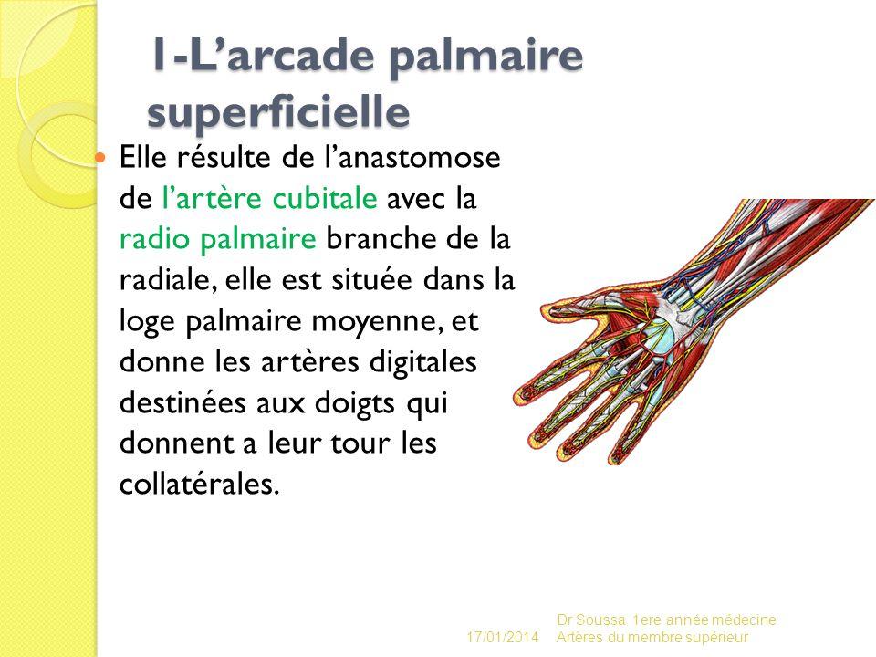 1-L'arcade palmaire superficielle