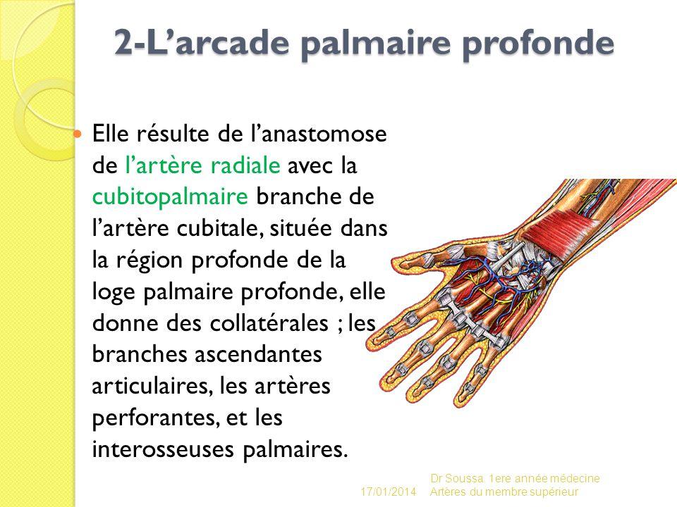 2-L'arcade palmaire profonde