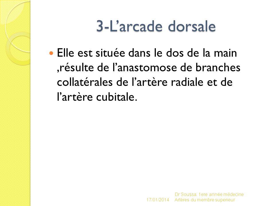 3-L'arcade dorsale