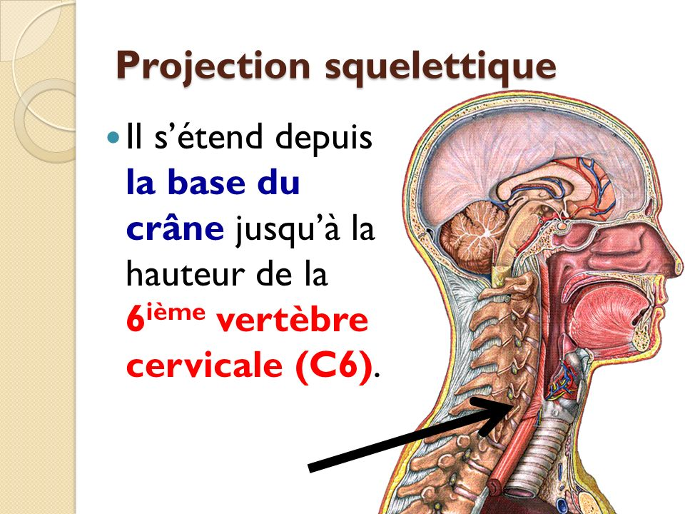 Projection squelettique