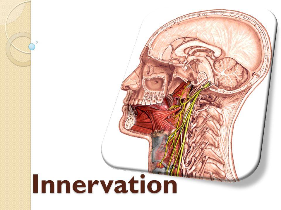 Innervation