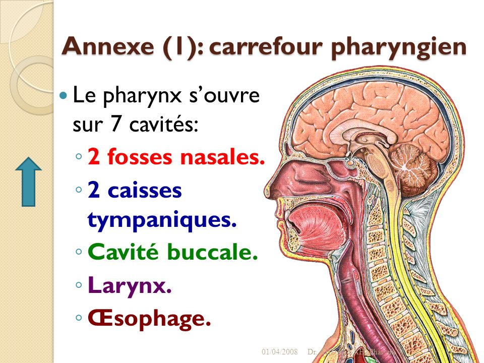 Annexe (1): carrefour pharyngien
