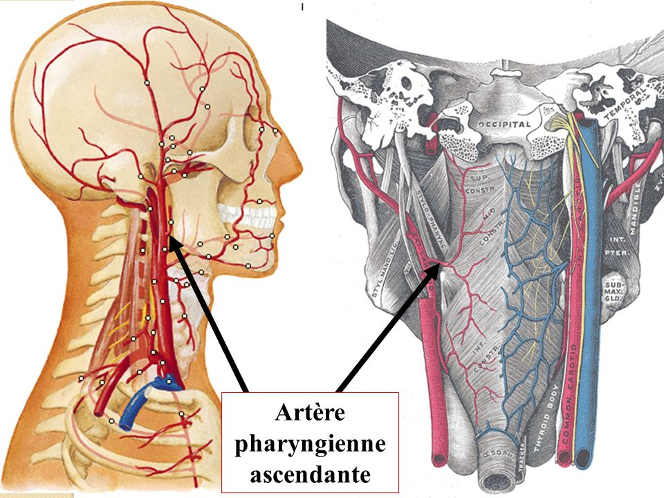 Artère pharyngienne ascendante