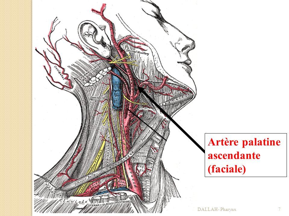 Artère palatine ascendante (faciale)