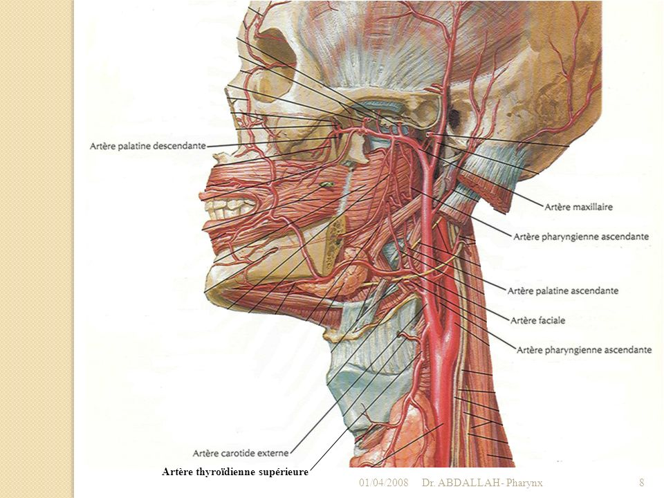 Artère thyroïdienne supérieure