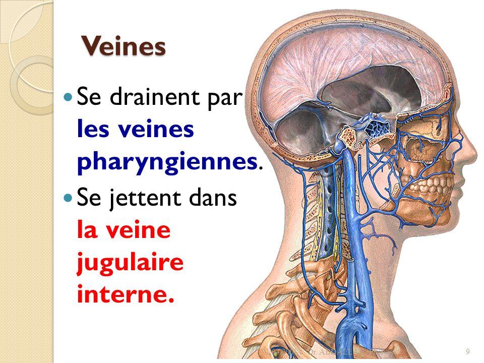 Veines Se drainent par les veines pharyngiennes.