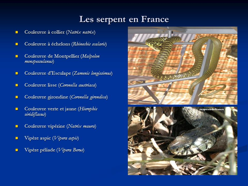 Les serpent en France Couleuvre à collier (Natrix natrix)