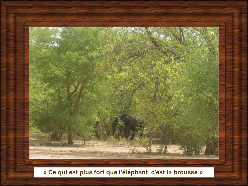 « Ce qui est plus fort que l éléphant, c est la brousse ».