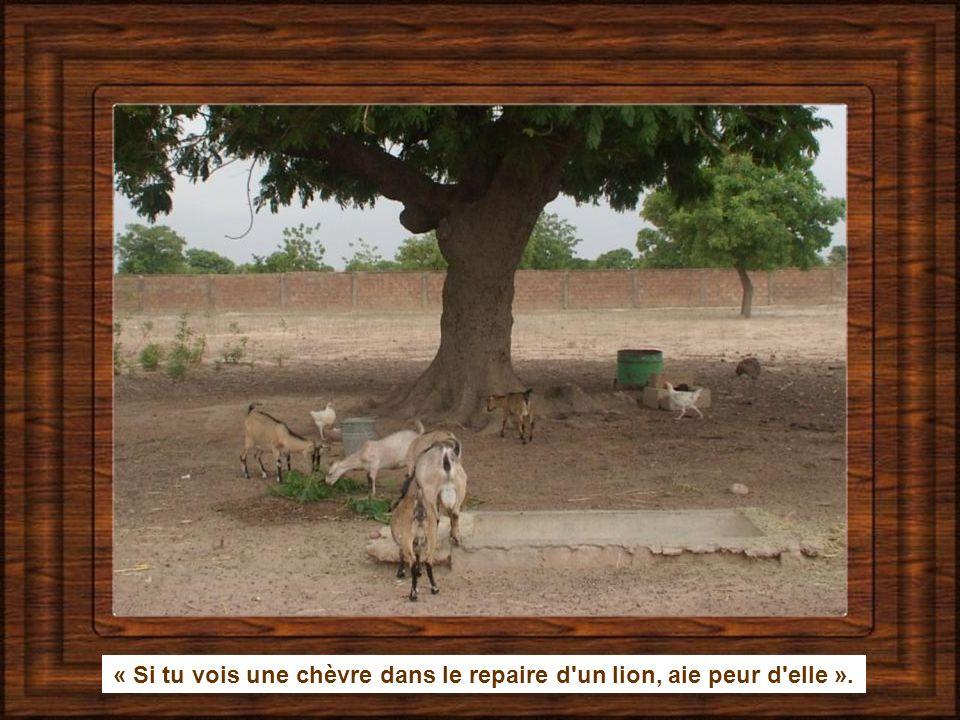 « Si tu vois une chèvre dans le repaire d un lion, aie peur d elle ».