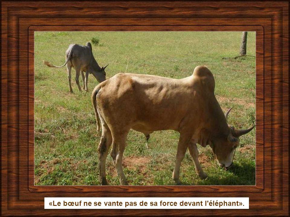 «Le bœuf ne se vante pas de sa force devant l éléphant».