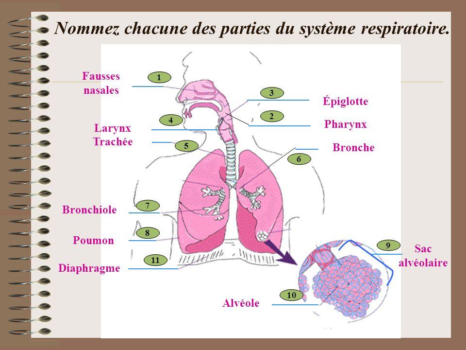 Nommez chacune des parties du système respiratoire.
