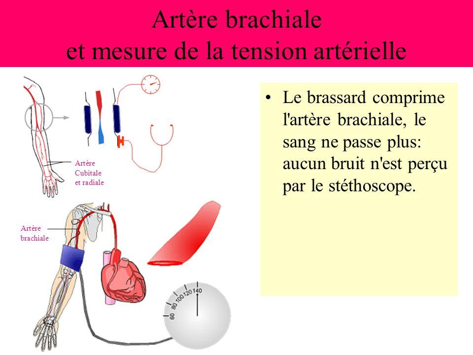 Artère brachiale et mesure de la tension artérielle