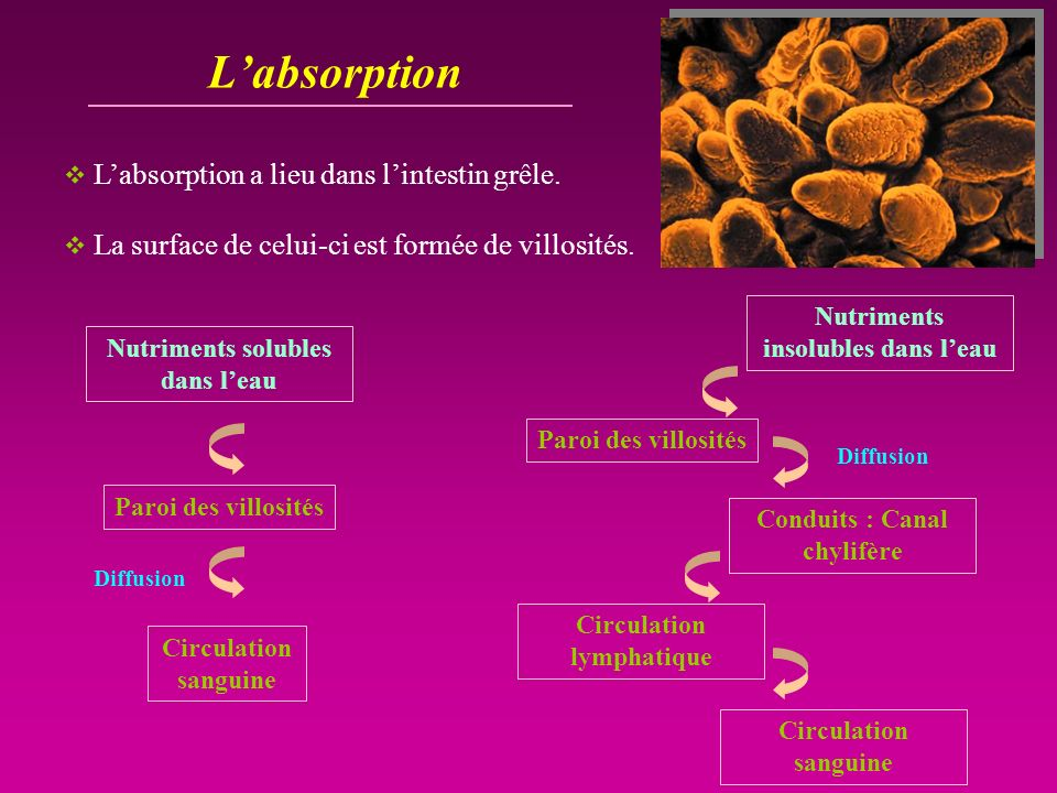 L'absorption L'absorption a lieu dans l'intestin grêle.