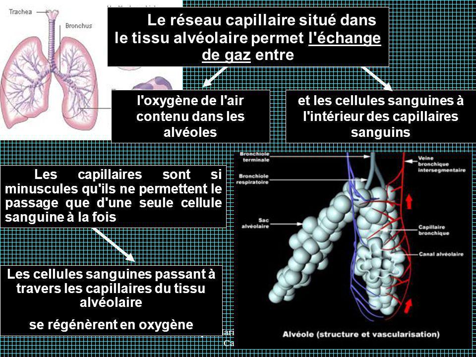 Le réseau capillaire situé dans le tissu alvéolaire permet l échange de gaz entre