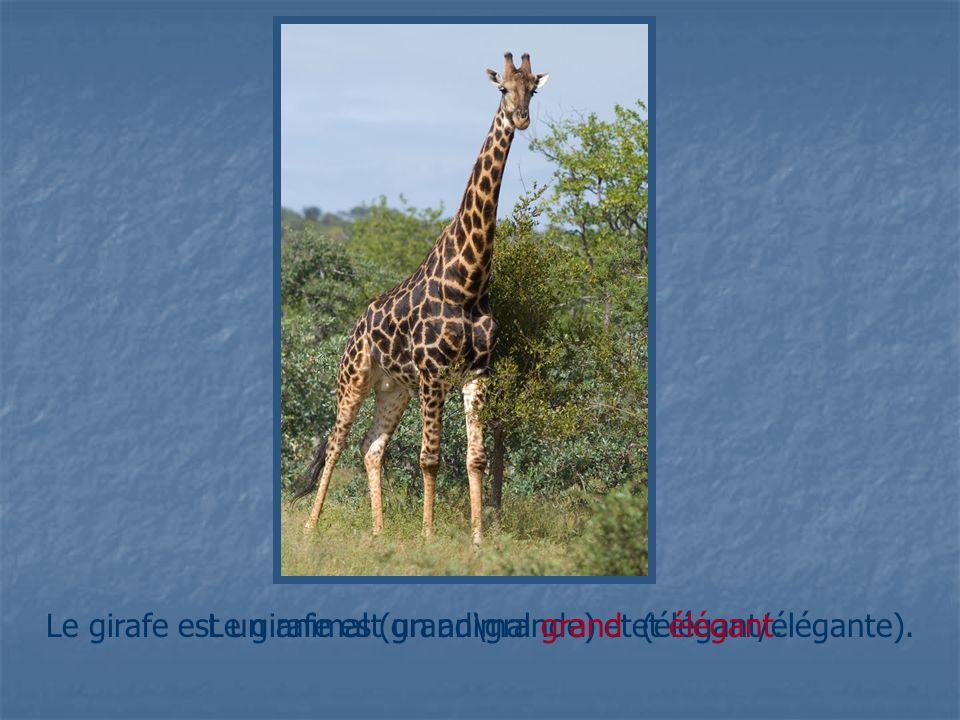 Le girafe est un animal (grand\grande) et (élégant/élégante).